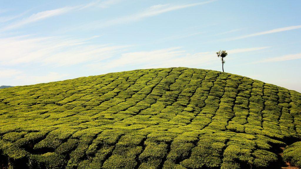 2020新年茶飲? 四季春茶讓你絕對精采|買茶最推薦- 無可挑Tea