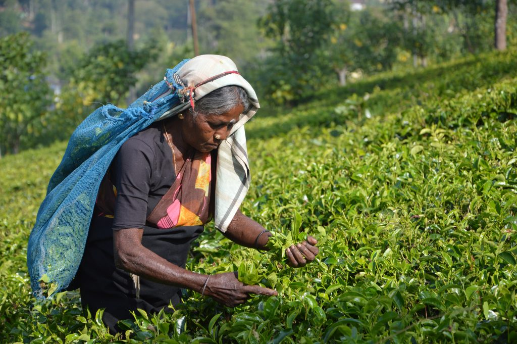asantha abeysooriya 309190 unsplash 錫蘭紅茶, 印度奶茶