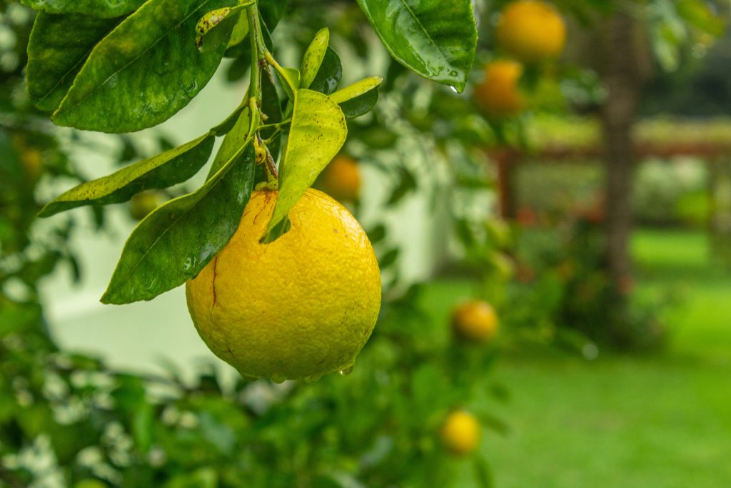 closeup photo of round green fruit 1171521 新鮮檸檬茶, 檸檬, 檸檬茶, 檸檬茶保存, 保存檸檬茶